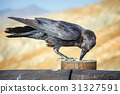 Common Raven sitting on a wooden beam, close up 31327591