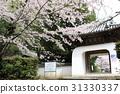 벚꽃, 천태종, 봄 31330337