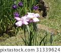 花菖蒲 紫色 白色 31339624