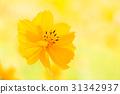 노랑 코스모스 31342937