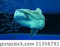 翻車魚 鹹水魚 海水魚 31356791