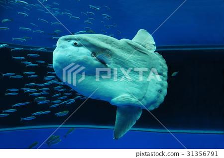 Sunfish 31356791