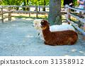 알파카, 동물, 포유류 31358912