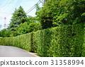 yew plum pine, hedge, passage 31358994