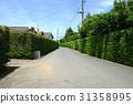 yew plum pine, hedge, passage 31358995