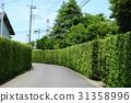 yew plum pine, hedge, passage 31358996