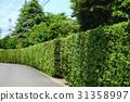 yew plum pine, hedge, passage 31358997