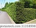 yew plum pine, hedge, passage 31358998