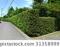 yew plum pine, hedge, passage 31358999