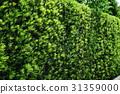 yew plum pine, hedge, passage 31359000