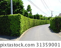 yew plum pine, hedge, passage 31359001