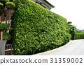 yew plum pine, hedge, passage 31359002