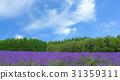 lavender field , nature background 31359311