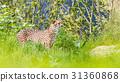 an Asiatic Cheetah 31360868