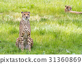 an Asiatic Cheetah 31360869