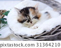 nap, napping, Scottish fold 31364210