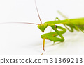 Green grasshopper, face fronted focus, 31369213