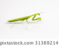 Green grasshopper isolated on white background. 31369214