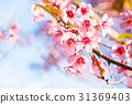 sakura thai flower in the nature with blue sky  31369403