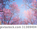 sakura thai flower in the nature with blue sky  31369404