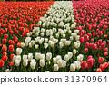鬱金香 花朵 花 31370964