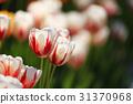 鬱金香 花朵 花 31370968