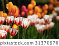 鬱金香 花朵 花 31370976