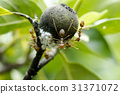 Ants and white aphids on the tree. 31371072
