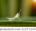 Newborn grasshopper 31371334