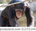 침팬지, 유인원, 영장류 31372144
