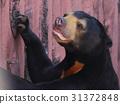 bear, bears, malayan 31372848