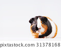 Cute tricolor Guinea pig with curious expression 31378168
