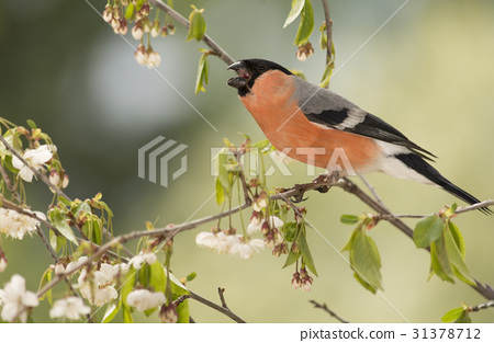 the shout of a bullfinch 31378712