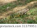 Green Iguana (Iguana iguana) 31379951