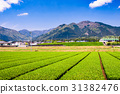 Tea Plantation in Japan 31382476