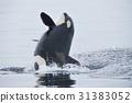在知床的海洋中跳跃的逆戟鲸 31383052