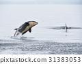 逆戟鲸 跳 海洋 31383053