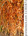 Palm tree dates (Phoenix dactylifera)  31383871