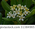 pittosporum, tobira, japanese 31384965