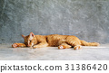 Red cat sleeping on a gray background. 31386420