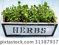 Fresh Greens in Pot 31387937