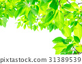 tender, green, verdure 31389539