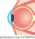 眼球 眼 眼睛 31389659