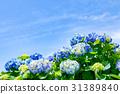 수국, 자양화, 꽃 31389840