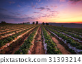 Beautiful strawberry field at sunset in Thailand 31393214