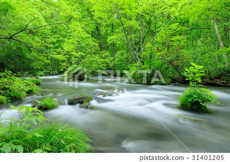 青森_ Oirase Stream ___杜鵑花 31401205