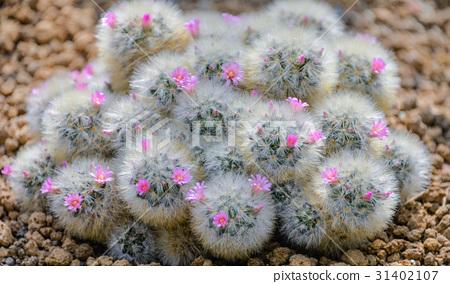 분홍색 꽃을 붙인 선인장 31402107