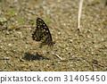 凤蝶 蝴蝶 常见的 31405450