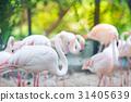 Flamingo flocks, natural backgrounds 31405639