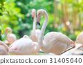 Flamingo flocks, natural backgrounds 31405640